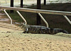 Alligator Causes Delay at Delta Downs