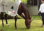 Belmont Stakes: Orb Grazing at Belmont Park