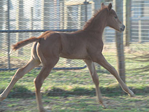Capitano Sires First Foal