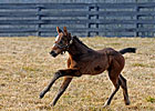 First Foal by Curlin Dies