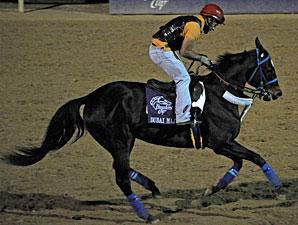 Dubai Majesty working towards the Breeders Cup.
