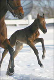 E Dubai's First Foal Is a New York-Bred