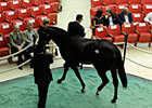 Storm Cat Colt Sells for $2.8 Million