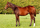 New Heights for Weanling Dubawi Colt at Goffs