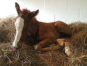 Juvenile Champ Hansen Sires First Foal