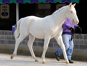 White Prince Goes Back to Breeder