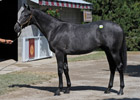 Unbridled's Song Colt Sells for $925,000