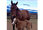 First Foal Reported for Mucho Macho Man