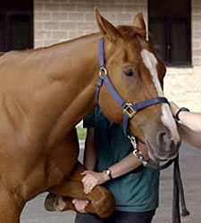 Webcast to Focus on Equine Pain Management