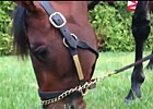 Preakness: Orb Grazes Preakness Morning
