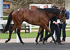 KY-Sired Colts in Demand at Tattersalls Sale