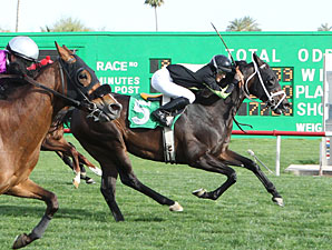 Why Not Be Perfect wins the 2013 Turf Paradise Handicap.