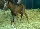 WinStar Releases Video of Filly&#39;s First Step