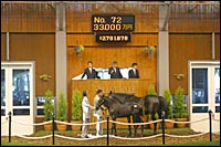 Sunday Silence Colt, Sold for Nearly $2.8 Million, Tops First Day of Japan Sale