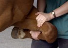 Pain Management in Horses