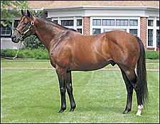Recovered Kingmambo Back to Breeding