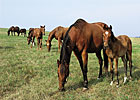 TJC: Number of Mares Bred Fell 10% in 2011